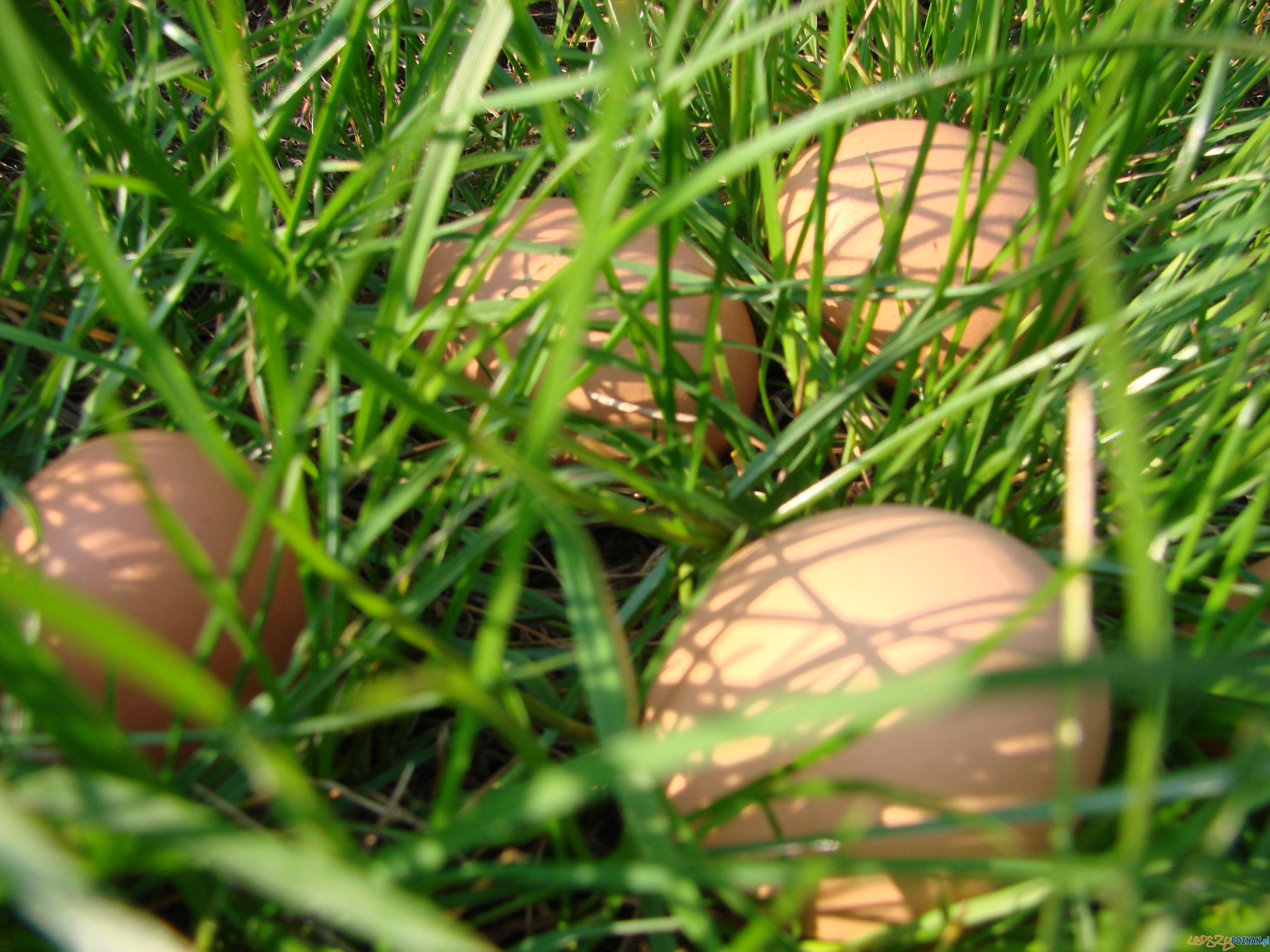 kurze jajka  Foto: lepszyPOZNAN.pl / ag