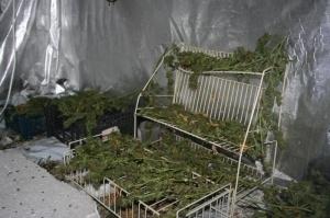 Polcja zatrzymala plantatora marihuany (6)