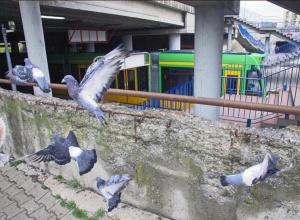 Wszędzie gołębie