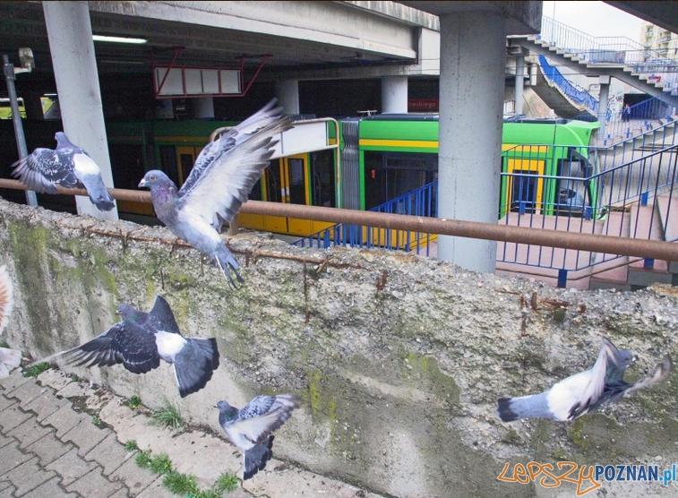 Wszędzie gołębie  Foto: