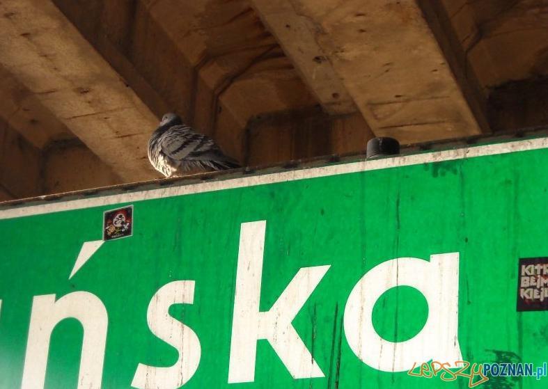 Gołębie na przystanku Pestki  Foto: poznaniak