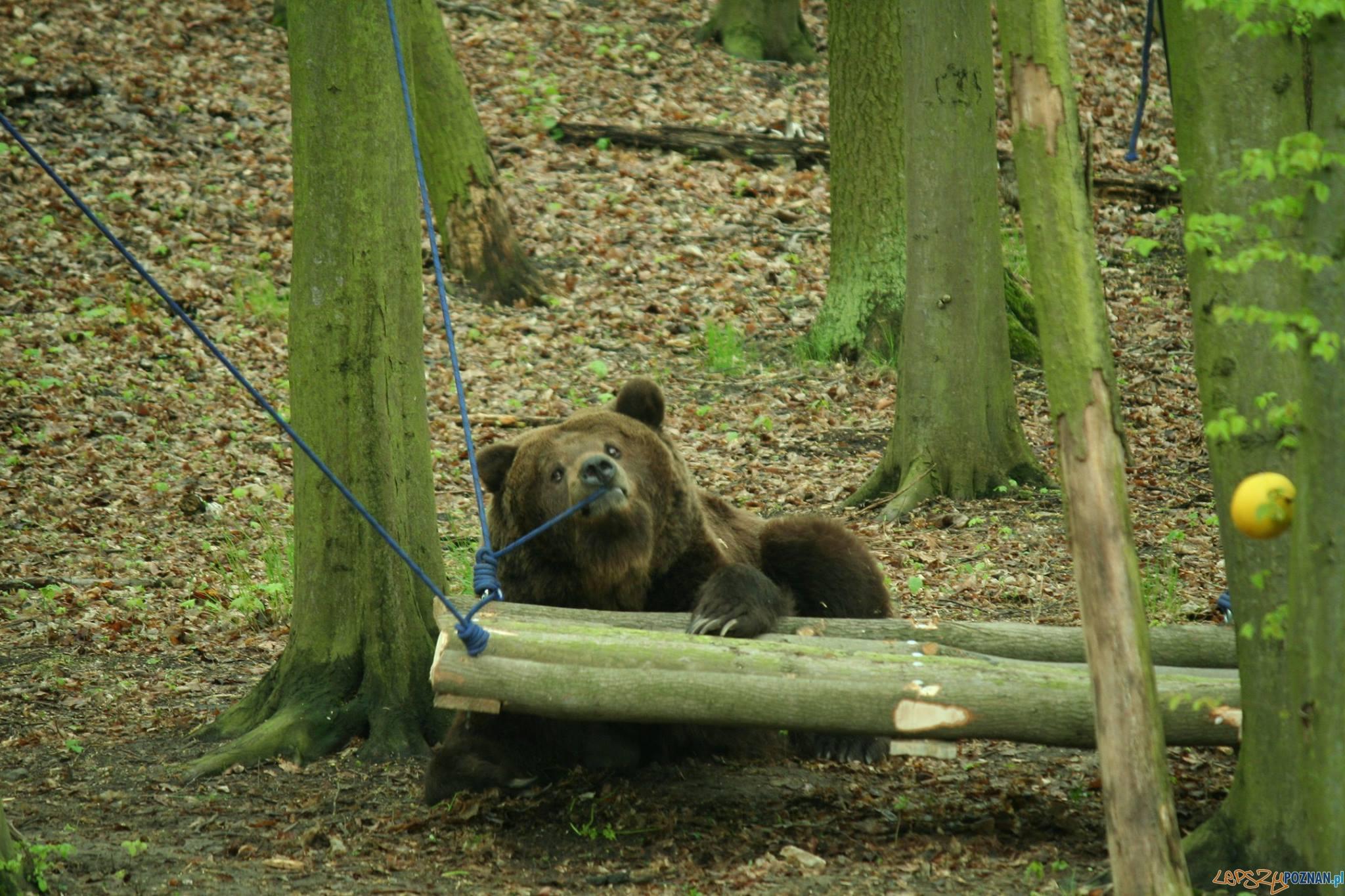 Jest zrzutka dla niedźwiedzi