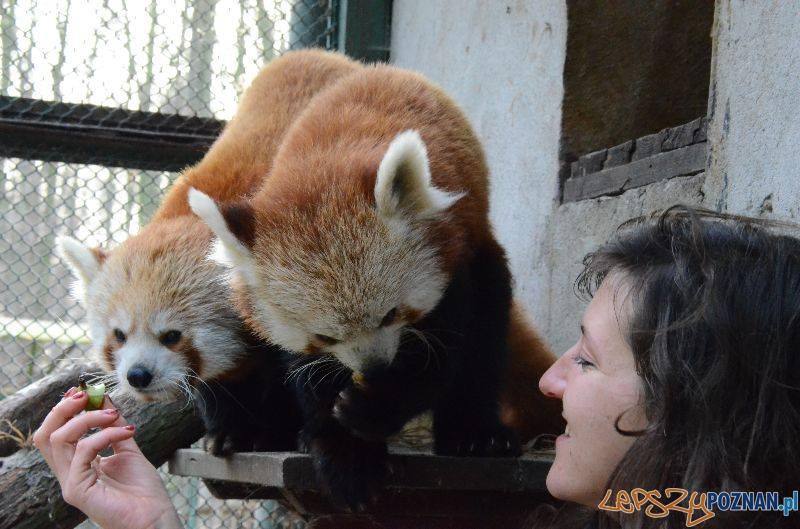 panda mała  Foto: Poznań zoo