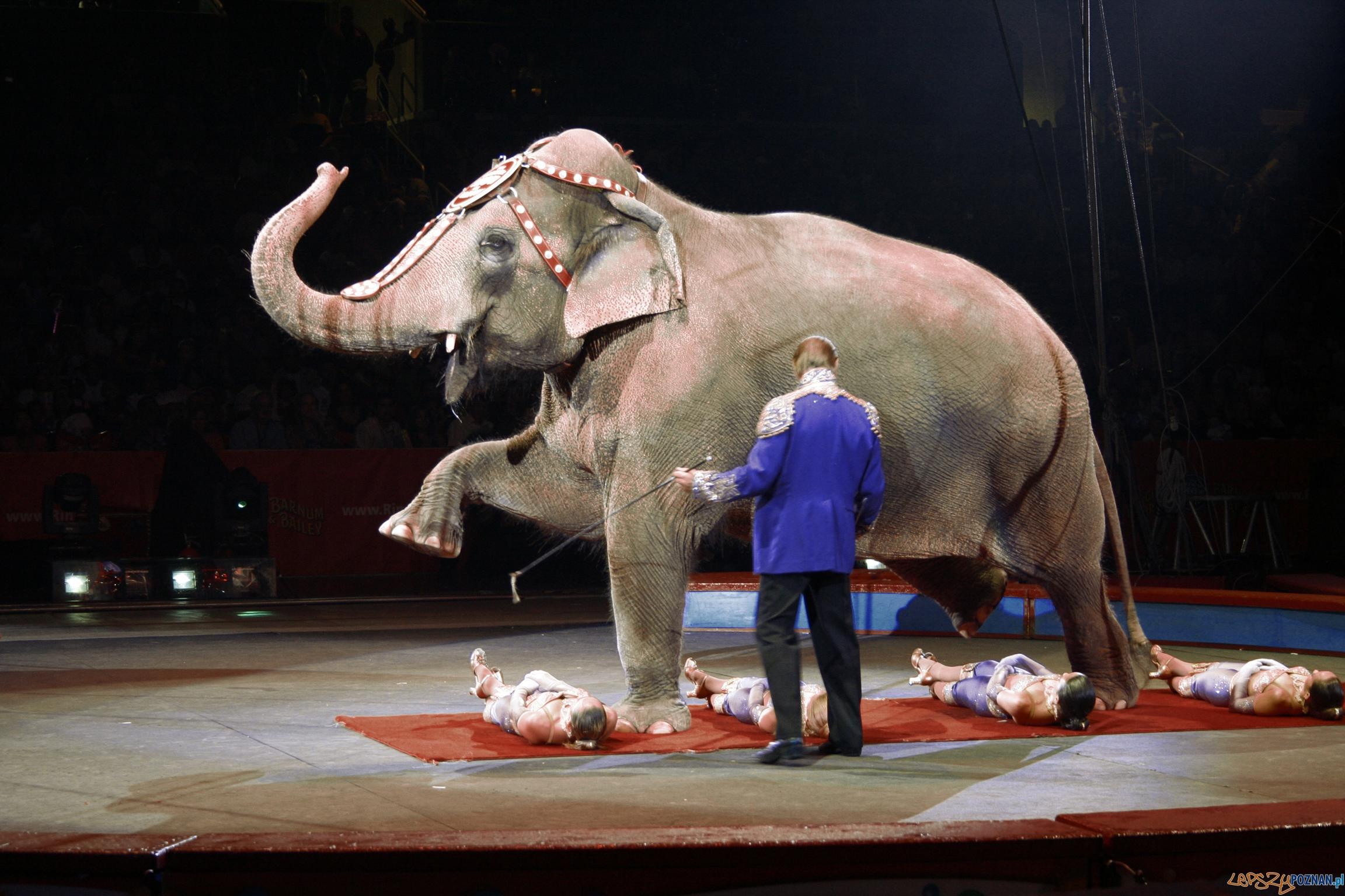 Słoń w cyrku  Foto: sxc.hu / Jose Torres