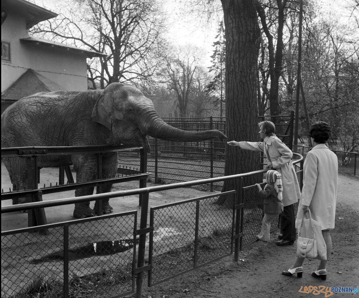 Słonica Kinga w ZOO - 1975  Foto: Stanisław Wiktor / Cyryl