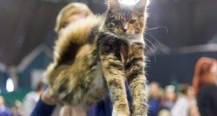 Międzynarodowa Wystawa Kotów Rasowych w Poznaniu