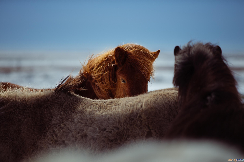 konie  Foto: Anders Jildén