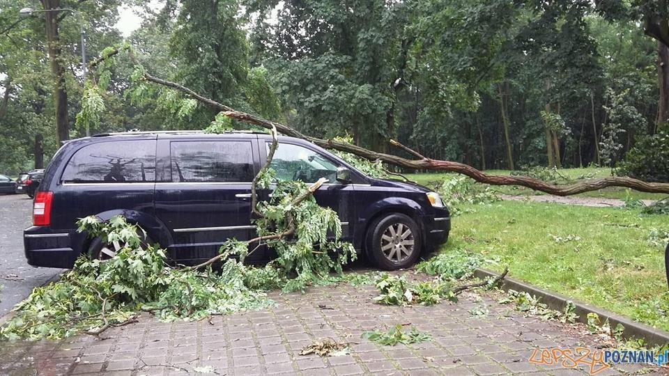 Przewrócone przez silny wiatr drzewo - Cytadela  Foto: fb.com/uber.poznan