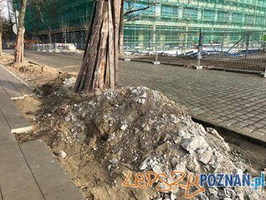 Cicha rzeź drzew na wildzie  Foto: materiały prasowe Rada Osiedla Wilda
