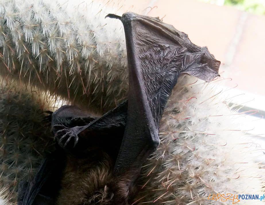 NIetoperz uwięziony w kaktusie  Foto: Straż Miejska